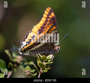Two tailed Pasha or foxy emperor butterfly Charaxes jasius sunning on bush in the hills of Ithaka in the Ionian - Stock Photo