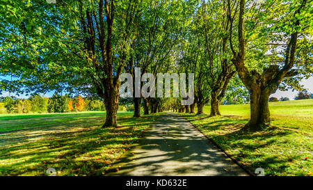Mature Maple Trees along both side of a lane on a nice October day near Fort Langley British Columbia - Stock Photo