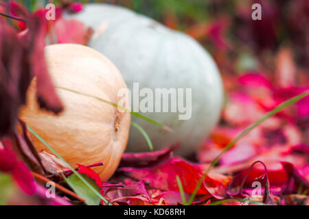 Autumn harvest of pumpkins in fall leaves - Stock Photo