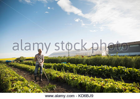 Male farmer working in vegetable crop on sunny farm - Stock Photo