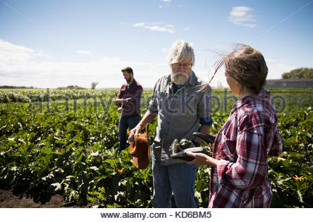 Farmers examining zucchinis in crop on sunny farm - Stock Photo