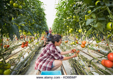 Woman harvesting fresh, ripe red tomatoes growing on tomato plant vines in greenhouse - Stock Photo