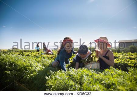 Family farmers harvesting arugula lettuce in vegetable garden on sunny farm - Stock Photo