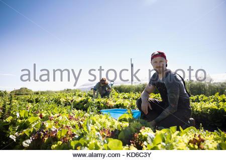 Portrait serious male farmer harvesting lettuce in vegetable garden on sunny farm - Stock Photo
