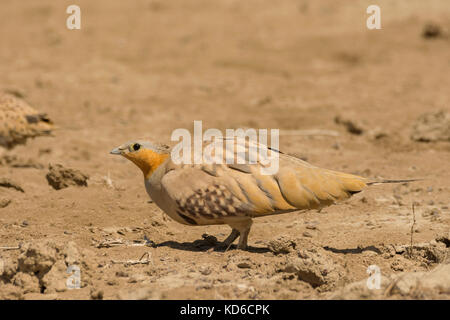 Male Spotted Sandgrouse (Pterocles senegallus) at Greater Rann of Kutch, Gujarat, India - Stock Photo
