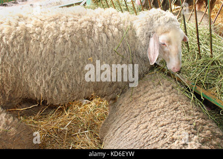 White sheep laying on grass in barn interior - Stock Photo