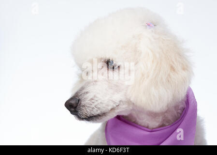 Profile portrait of groomed poodle dog isolated - Stock Photo
