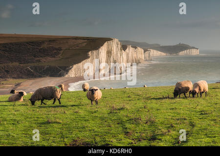 Sheep grazing in a field with view of Seven Sisters cliffs from Seaford, East Sussex, UK - Stock Photo