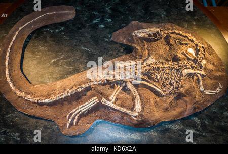 A whole coelophysis bauri dinosaur skeleton fossil, on display at the Natural History Museum, Kensington, London, - Stock Photo