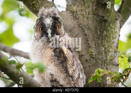 Young long-eared owl (Asio otus) sitting in tree, young animal, Lake Neusiedl, Burgenland, Austria Stock Photo
