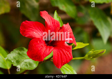 A beautiful red flower of hibiscus closeup - Stock Photo