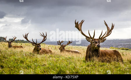 Mature red deer stags Cervus elaphus resting after heavy morning rain at Ashton Court above Bristol UK - Stock Photo