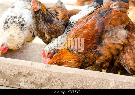 brown chicken eating from a trough. - Stock Photo