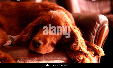 Portrait of an adorable red setter dog on a brown leather settee looking towards the camera - Stock Photo