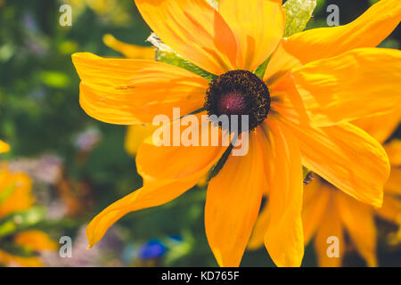 Yellow Rudbeckia with brown centers. Also called Coneflowers, Black-eyed-Susans, Leuchtender Sonnenhut - Stock Photo
