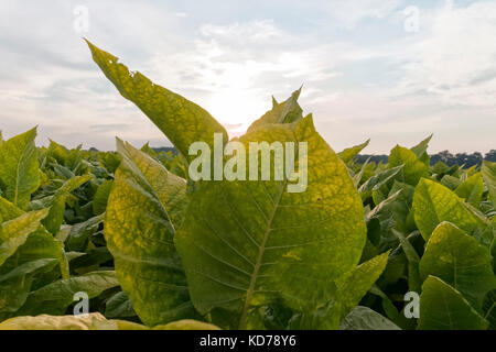 A close look at tobacco leaves on a Kentucky farm. - Stock Photo