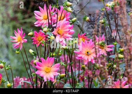 Bright pink flowers of the half hardy perennial dahlia karma stock bright pink flowers of the half hardy perennial dahlia karma fuchsiana mightylinksfo