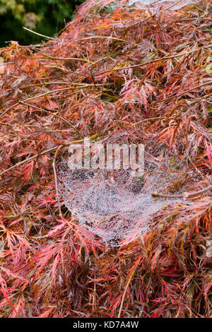Dew covered web of the European sheet web spider, Linyphia triangularis, draped over an Autumn coloured Acer palmataum - Stock Photo