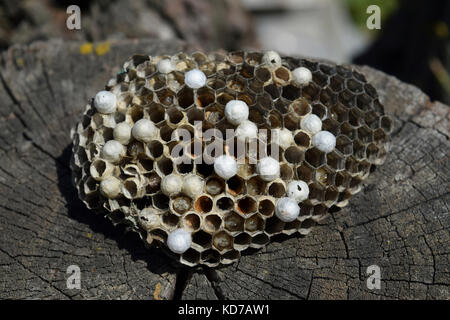 Wasp nest lying on a tree stump. Wasps polist. The nest of a family of wasps which is taken a close-up. - Stock Photo