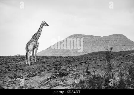 Angolan giraffe (Giraffa giraffa angolensis), also known as Namibian giraffe, standing in arid landscape, Namib - Stock Photo