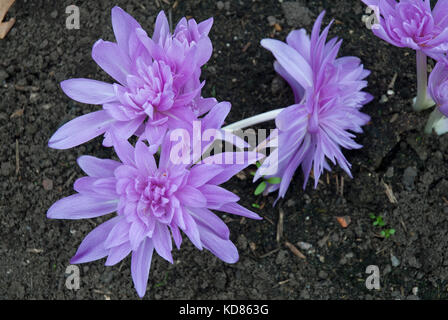'Waterlily' colchicum, autumn flowering crocus growing in soil. Bright and colourful pink / purple. - Stock Photo