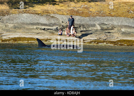 People watching a Killer Whale (Orcinus orca) fishing along the shore near Vancouver Island in the Strait of Georiga - Stock Photo