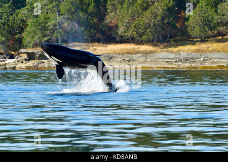 An adult killer whale (Orcinus orca) breaching near the shore on Vancouver Island B.C. - Stock Photo