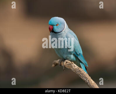 A beautiful Indian blue ring-necked parrot sitting on a perch. - Stock Photo
