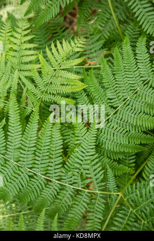Details of fern leaves frond, polypodiopsida branched branched - Stock Photo