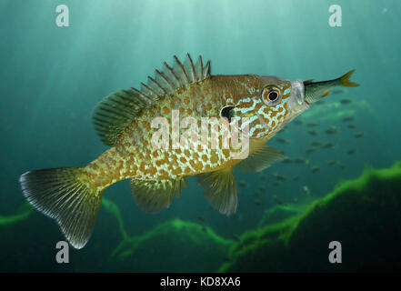 Pumpkinseed, Lepomis gibbosus. Eating a small Roach. It has been introduced in several parts of the world as a sport - Stock Photo