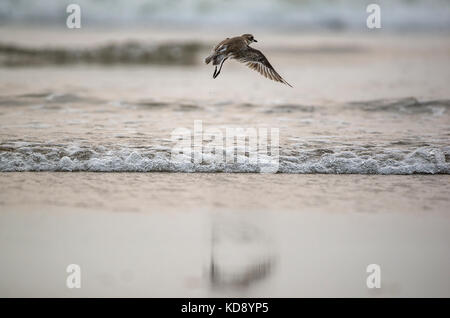 A plover bird took off from the beach - Stock Photo