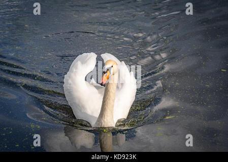 Mute swan - Stock Photo
