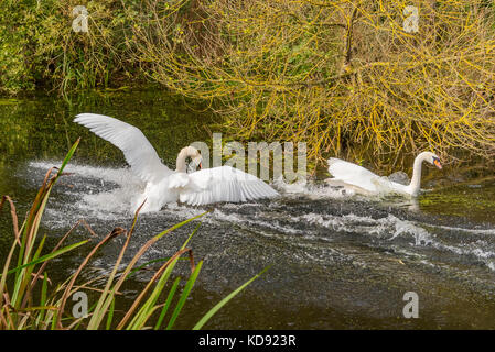 Mute swan pair swans fighting - Stock Photo