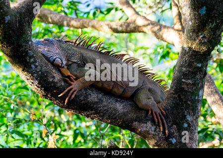 Orange colored Iguana resting in a tree - Muelle, Costa Rica - Stock Photo
