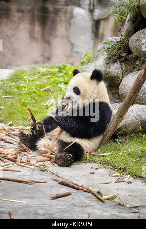 Giant panda eats bamboo, Chengdu, China. - Stock Photo