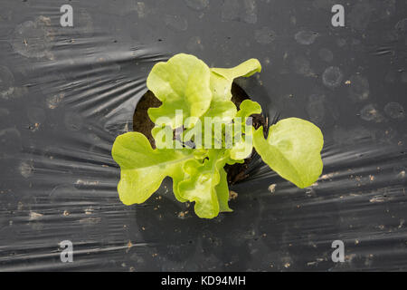 Top view of one young baby Green Leaf Lettuce growing outdoors in plastic mulch. - Stock Photo