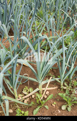 Leek - Allium ampeloprasum - growing outdoors in lines on a permaculture farm.