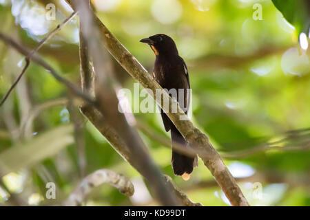 'Tiê-galo (Lanio cristatus) fotografado em Linhares, Espírito Santo -  Sudeste do Brasil. Bioma Mata Atlântica. - Stock Photo