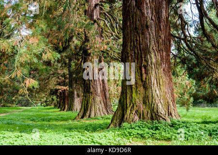 Alignment of giant sequoia trees. - Stock Photo