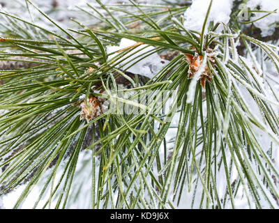Snow rime on two long green needles of pine-tree with cones, close-up view - Stock Photo