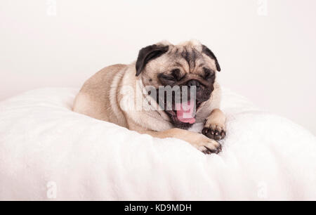 cute pug puppy dog lying down yawning on fuzzy blanket - Stock Photo