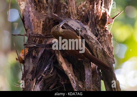 'Arapaçu-de-garganta-amarela (Xiphorhynchus guttatus) fotografado em Linhares, Espírito Santo -  Sudeste do Brasil. - Stock Photo