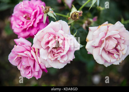 close up rose bush with  pink roses - Stock Photo