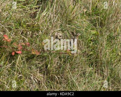 Wryneck, Jynx torquilla, perfectly camouflaged in grass bank, Portland Bill, Dorset, UK - Stock Photo
