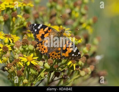 painted lady, Vanessa cardui, feeding on Ragwort, Jacobaea vulgaris, Lancashire, UK - Stock Photo