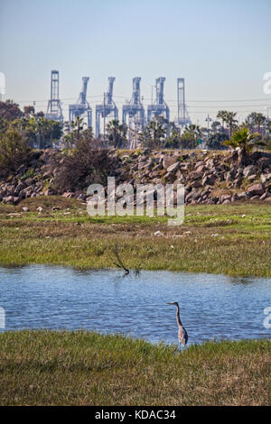 Great Blue Heron, Golden Shore Marine Biological Reserve Park, Los Angeles river, Long Beach, California, USA - Stock Photo