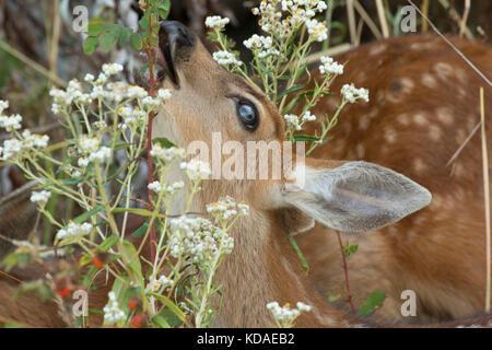 Blacktail deer, Fort Flagler State Park, Washington - Stock Photo