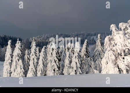Conifers covered in snow in the Black Forest, Germany - Stock Photo