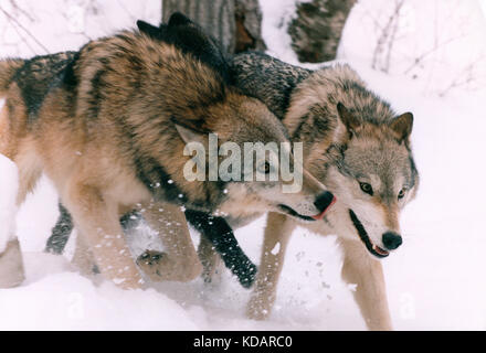Canada. Wildlife. Gray Wolves in the snow. - Stock Photo