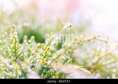 Snow flakes on juniper tree macro closeup with bright soft golden and pink sunlight - Stock Photo